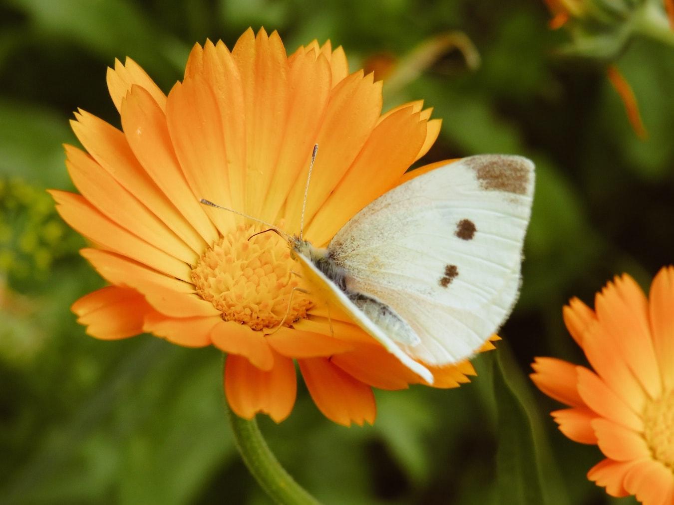 Ringelblume mit einem Schmetterling Calendula