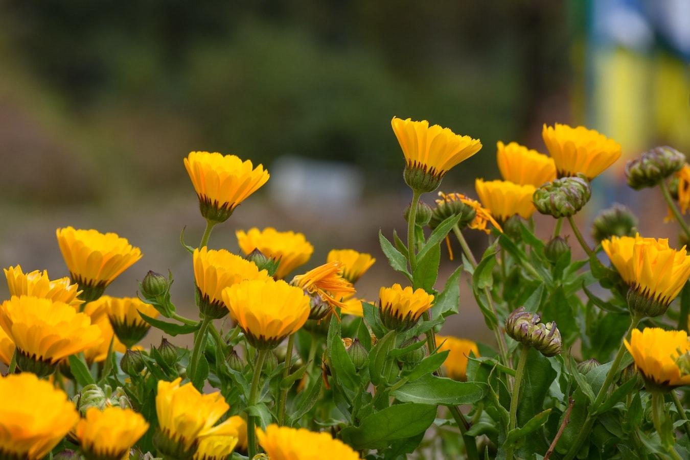 viele Ringelblumen zur Herstellung von Ringelblumenöl
