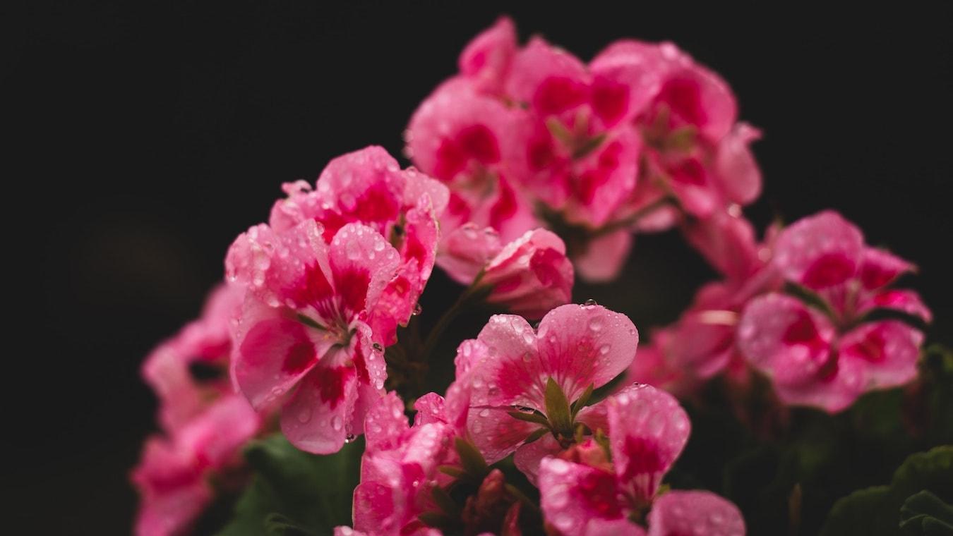 Geranium Blume Storchschnäbel Blume Geranie hautpflegend