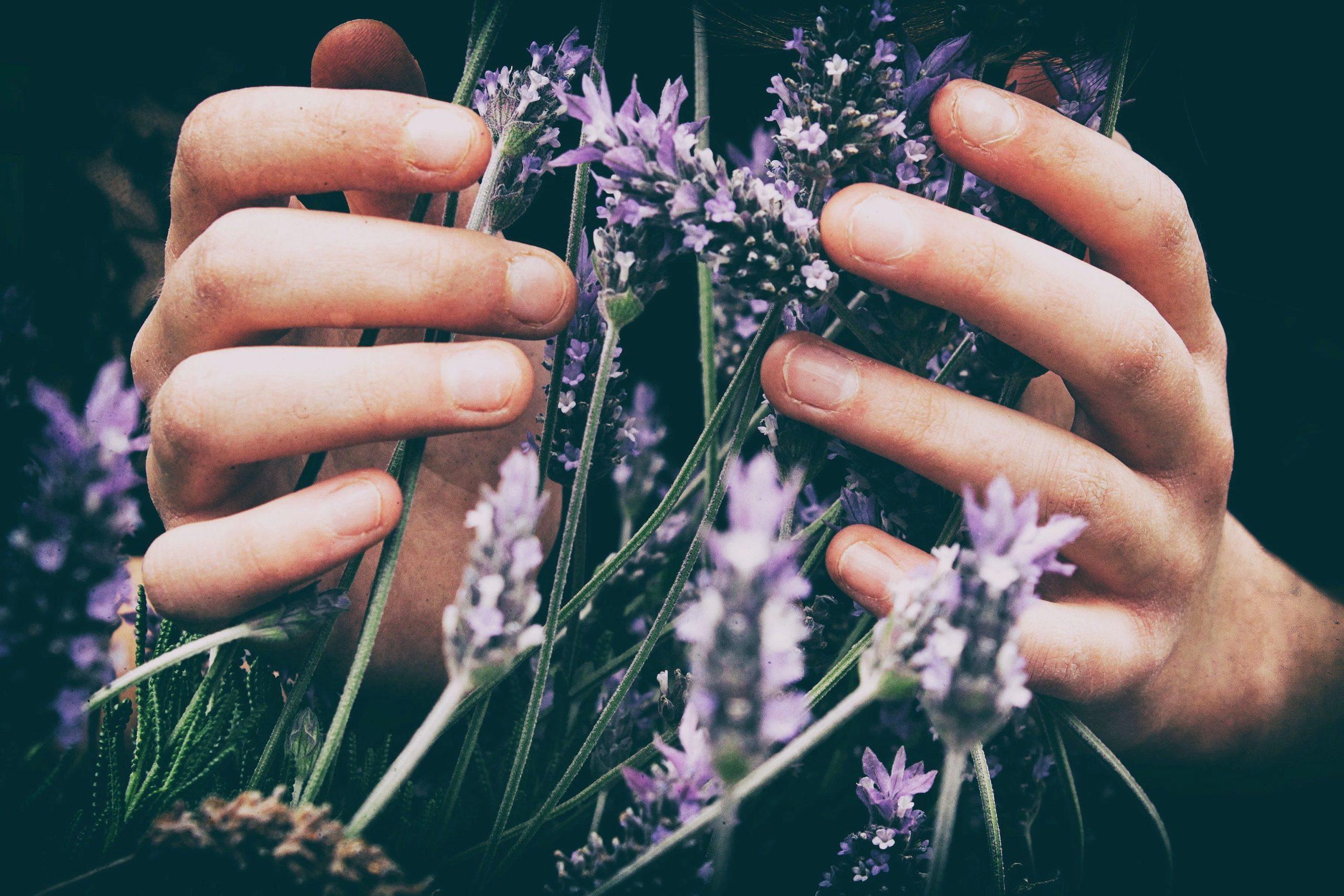 zwei Hände umfassen einige Lavendelpflanzen ätherisches Lavendelöl